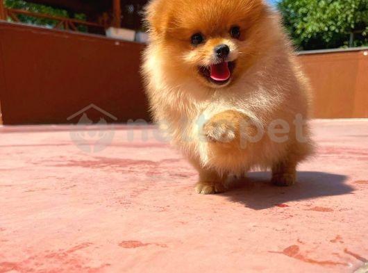 Yarışma düzeyi belgeli ırk garantili boo Pomeranian yavrumuz