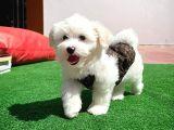 Küçük boy maltese terrier kızımız