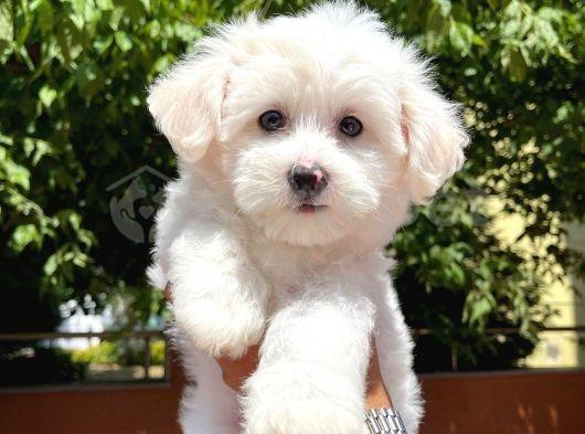 Sevimli ve sempatik Süs köpeği