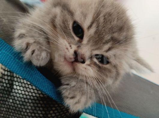 4 adet kedimiz var british scotish ozel yavrular