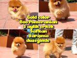 Basık burun ayı surat Yarışma Adayı Safkan Boo Pomeranian @yavrupatiler