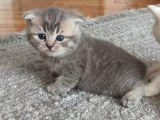 33 günlük dişi yavru kedi