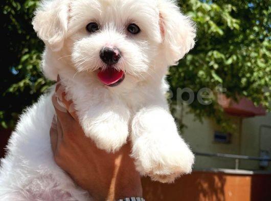 Safkan belgeli maltese terrier yavrumuz