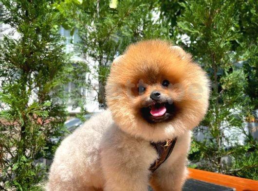 Secereli teddy bear boo Pomeranian yavrumuz