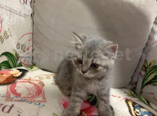 British shorthair yavru kediler