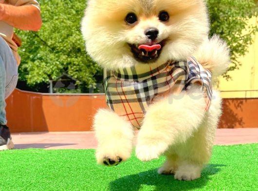Secere Sertifikalı Orijinal Renk TeddyBear Boo Oğlumuz/ İnstagram: pomeranianboodunyasi_