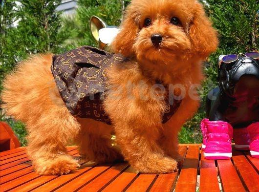 Irk ve Sağlık Garantili Poodle Yavrularımızdan/ İnstagram: pomeranianboodunyasi_