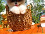 Panda Görünüme Sahip Pomeranian Oğlumuz/ İnstagram: pomeranianboodunyasi_