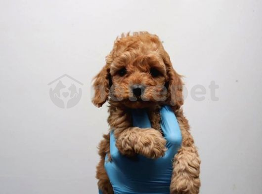 Mükemmel Kalitede Toy Poodle Yavrularımız
