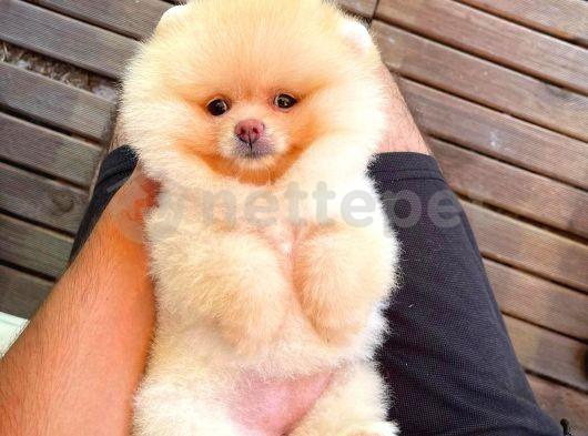 Ruhsatlı ırk garantili teddy bear boo Pomeranian yavrumuz