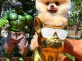 Irk ve sağlık garantili sözleşmeli boo Pomeranian boo