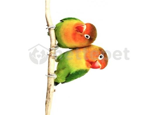 Cennet papağanı çift