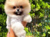 Mini boy teddy bear belgeli Pomeranian boo yavrumuz