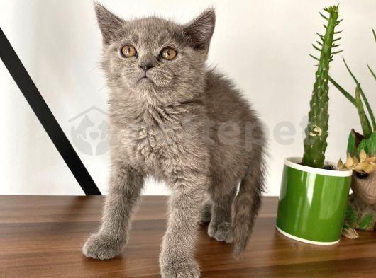 Best British male Kitten from England