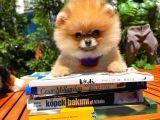 Yeni Gelen MiniBoy PomeranianBoo Kızımız