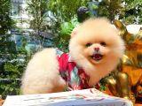 Irk ve Sağlık Garantili Safkan Pomeranian Yavrularımızdan