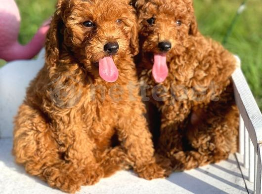 Show kalite toy poodle yavruları