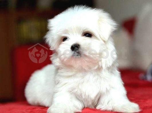 Korekan Maltese Terrier Yavruları