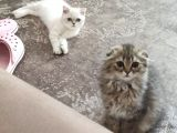 Veteriner Kontrollü aşılı Scottish Longhair Dişi Yavru