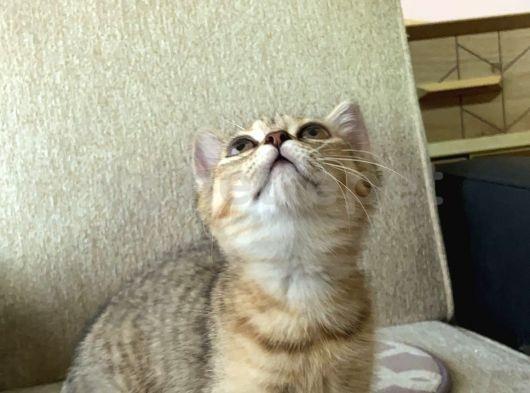 British Shorthair Golden TABBY