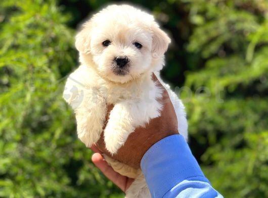 Anne Altından Maltese Terrier
