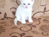 Orjinal ırk mavi göz scotish
