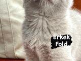 Fold ve straight kediler