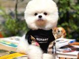 Kar Beyazı Erkek PomeranianBoo Yavrularımızdan/ İnstagram: pomeranianboodunyasi_