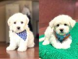 Dişi ve Erkek Orjinal Maltese Terrier Yavrularımız