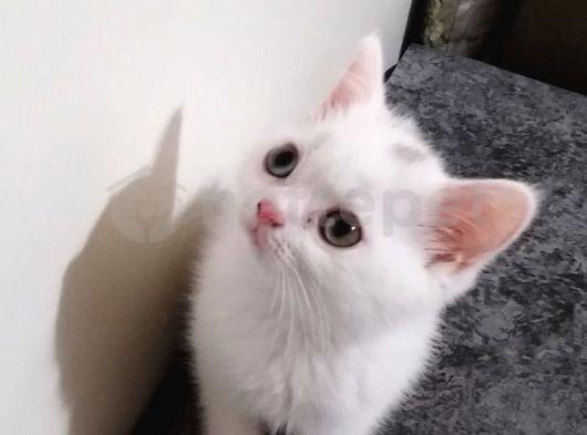 Çok güzel beyaz brittish yavrularım sahiplendirilyor