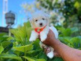 Dünyalar Güzeli Maltese Terrier Yavrumuz