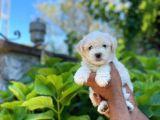 Yakışıklı Oğlumuz Maltese Terrier