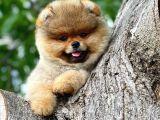 Orjinal renk yapısına sahip teddy bear Pomeranian oğlumuz