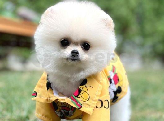 Sözleşmeli ırk garantili boo Pomeranian yavrumuz