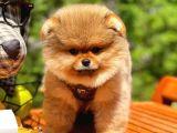 3 Kat Tüy Yapısına Sahip Pomeranian Oğlumuz/ İnstagram: pomeranianboodunyasi_