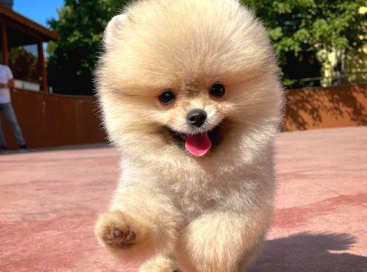 Orijinal Renk Yapısına Sahip Pomeranian Oğlumuz/ İnstagram: Pomeranianboodunyasi_