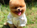 3 Aylık TeddyFace Pomeranian Oğlumuz/ İnstagram: pomeranianboodunyasi_