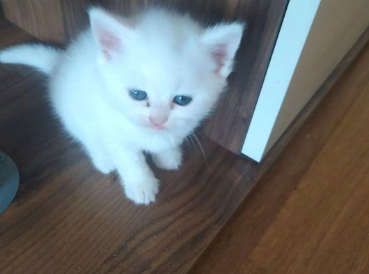 3 adet yavru scottish/british kedimiz