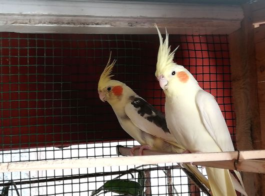 1.5 yaşında erkek sultan papağani