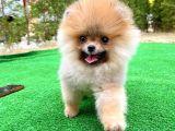 En İyi Fiyat ve Irk Garantili Pomeranian Kızımız