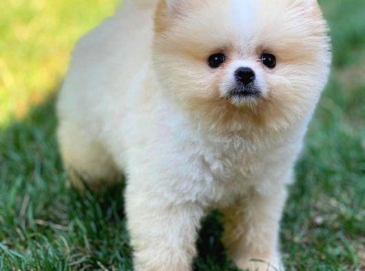 Yeni Gelen PartyColour Pomeranian Oğlumuz