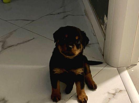 Orijinal Rottweiler 1,5 ay (disi)