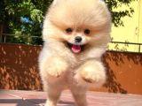Orijinal Renk Yapısına Sahip PomeranianBoo Oğlumuz/ İnstagram: pomeranianboodunyasi_