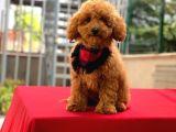 Aşılı Tuvalet Eğitimli Red Toy Poodle Oğlumuz
