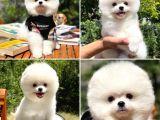 Yarışma düzeyi ırk garantili belgeli pasaportlu Pomeranian yavrumuz