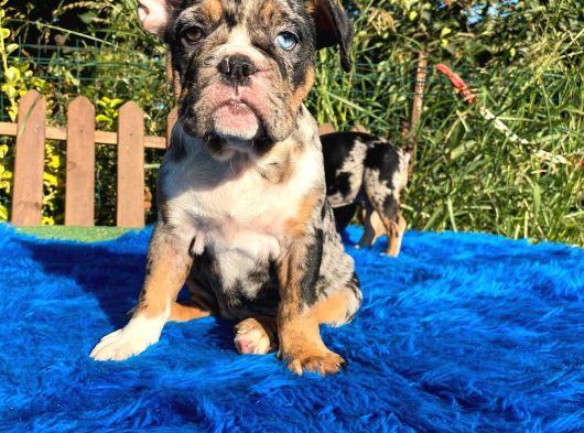 Merle İngiliz Bulldog Özel Yavrular