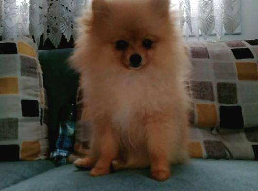 İzmir Pomeranian boo sahibinden izmir