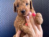 Red brown erkek toy poodle