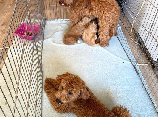 Anne altından tatlı poodle yavrular