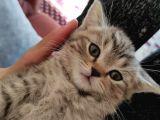 2.5 aylık british shorthair kedi